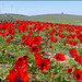 Amazya, Israel - Nature, Flowers and Red Anemones