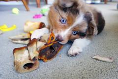 animal, puppy, dog, pet, mammal, welsh corgi,