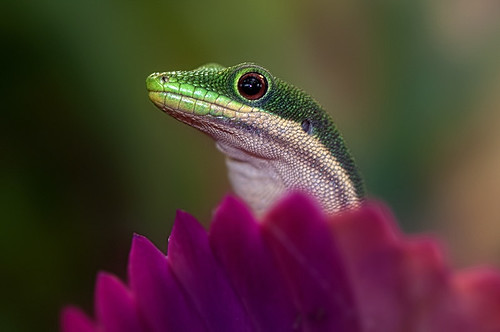 Four Spot Day Gecko