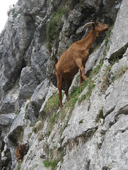 mountain goat(0.0), animal(1.0), mammal(1.0), goats(1.0), fauna(1.0), chamois(1.0), wildlife(1.0),