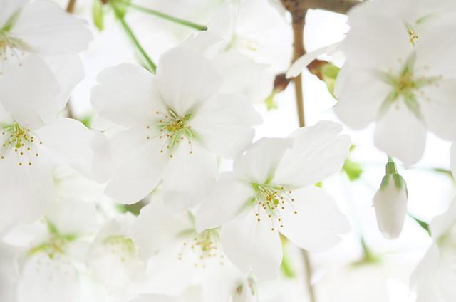 東京路地裏散歩 根津の桜 2014年3月29日