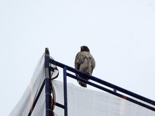 Red-Tailed Hawk (6730)