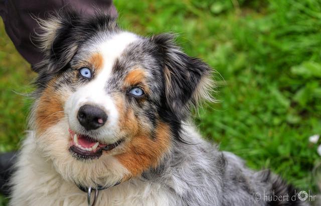 Hubert Dohr - blue eyed dog