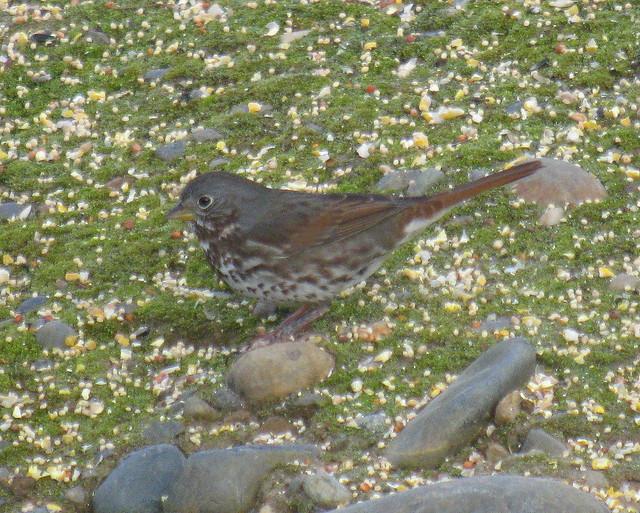 Slate-colored Fox Sparrow, Feb 4 2011