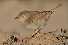 finch(0.0), brambling(0.0), lark(0.0), wren(1.0), nightingale(1.0), animal(1.0), sparrow(1.0), ortolan bunting(1.0), perching bird(1.0), fauna(1.0), emberizidae(1.0), beak(1.0), house sparrow(1.0), bird(1.0), wildlife(1.0),