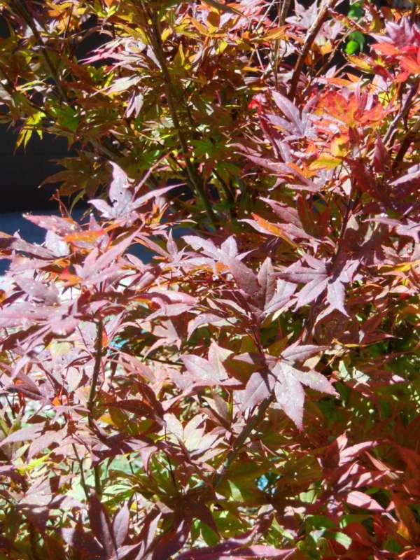 Acer japonicum v 1
