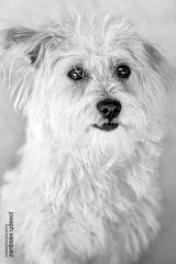 bichon frisã©, dog breed, animal, dog, schnoodle, white, pet, coton de tulear, lã¶wchen, glen of imaal terrier, mammal, bolonka, poodle crossbreed, havanese, monochrome photography, morkie, bichon, west highland white terrier, maltese, bolognese, monochrome, black-and-white, terrier,