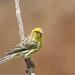 Canary (Tony Mainwood)