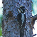 Three-toed Woodpecker (Glyn Sellors)