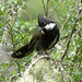 Eastern Whipbird - Photo (c) David Cook, some rights reserved (CC BY-NC)