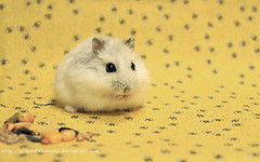 guinea pig(0.0), whiskers(0.0), animal(1.0), rodent(1.0), pet(1.0), mouse(1.0), hamster(1.0), fauna(1.0), gerbil(1.0),