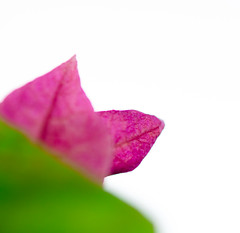 The first bougainvillea of 2011 (1 of 2). By Thomas Tolkien