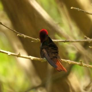 Ruby-topaz Hummingbird