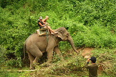 animal, indian elephant, elephant, elephants and mammoths, fauna, mahout, jungle, savanna, safari, wildlife,