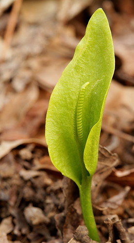 Adder's tongue fern image