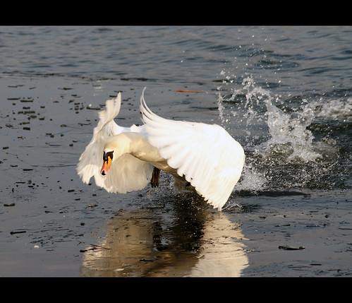 ireland bird nature flying swan wildlife cork flight munster muteswan cygnusolor carrigtwohill