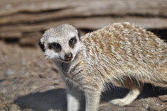 animal, mammal, fauna, whiskers, meerkat, wildlife,