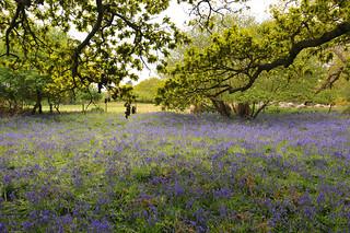 Bluebell meadow, Suffolk, UK