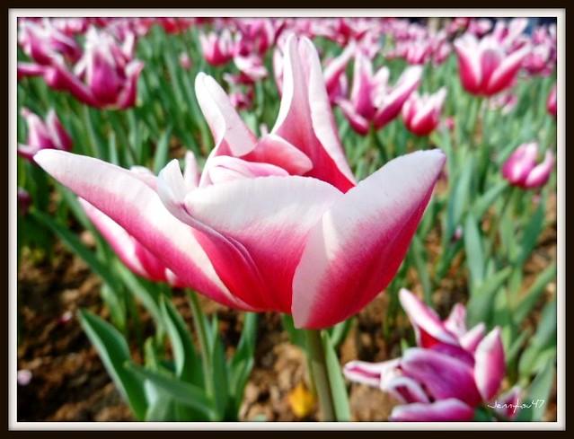 Photo:Common Garden Tulipa-- 鬱金香05 By jennyhsu47