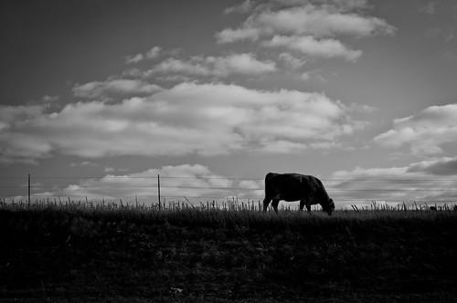 bw landscape cow cornfield nebraska farmland nikon35mm nikond300s