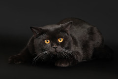chartreux(0.0), nose(1.0), animal(1.0), british shorthair(1.0), small to medium-sized cats(1.0), pet(1.0), mammal(1.0), black cat(1.0), bombay(1.0), cat(1.0), whiskers(1.0), black(1.0), domestic short-haired cat(1.0),