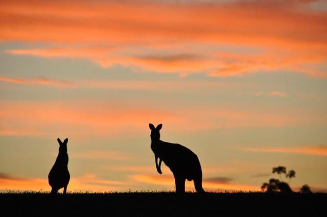 Canguros en la reserva de Cardinia, Australia