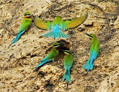 Blue Tailed Bee Eater ( Merops philippinus )