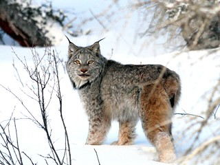 Eye to Eye with a Canadian Lynx