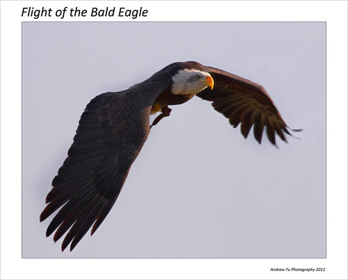 The Flight of the Bald Eagle