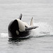 Orca (Peter Dunn)