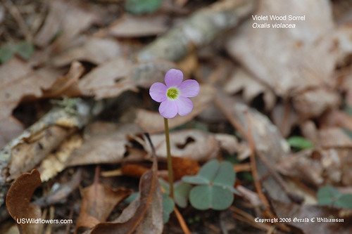Violet Wood Sorrel - Oxalis violacea