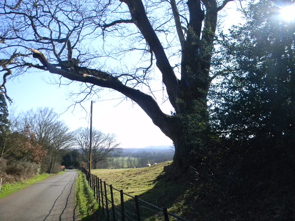 Big tree Farnham to Godalming