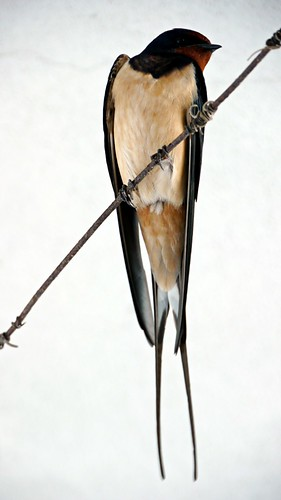 Swallow Front