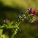 Vivorera, lenguaza (echium creticum)