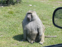 western gorilla(0.0), gorilla(0.0), animal(1.0), baboon(1.0), monkey(1.0), mammal(1.0), fauna(1.0), old world monkey(1.0), macaque(1.0),