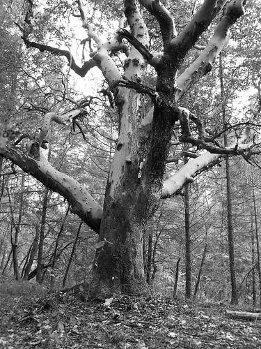 old blackandwhite tree oregon madrona madrone grantspass arbutusmenziesii josephinecounty cathedralhills