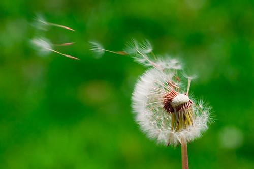 Dandelion wish (88/365)
