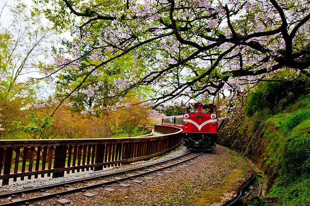 Alishan Forest Train under Cherry Blossoms 櫻花樹下的阿里山森林小火車