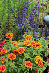 Zinnia 'Zowie' and Salvia 'Mystic Spires'