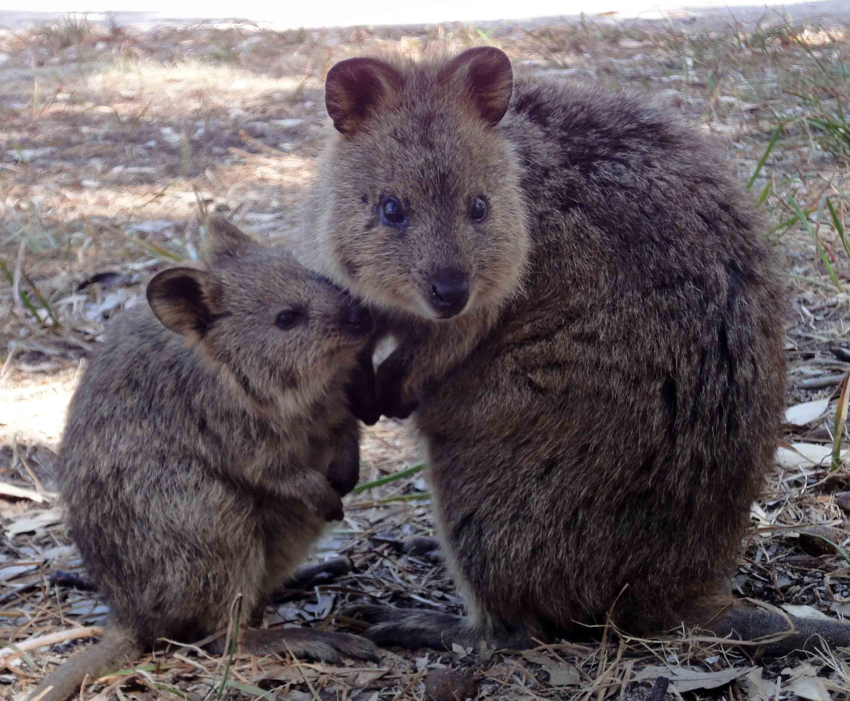 gallery for gt baby quokka