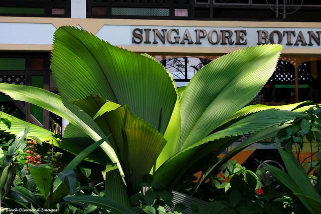 Johannesteijsmannia altifrons - Daun Payung, Joey palm, Umbrella-leafed palm