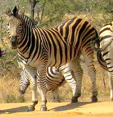 South Africa. Safari. Zebra 1
