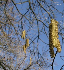 Signs of spring: hazel catkins  by Silly_squirrel