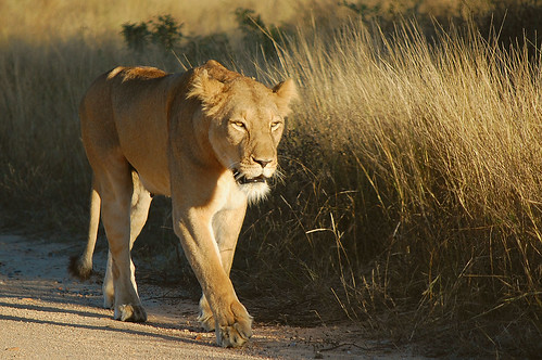 Lioness on afternoon outing.