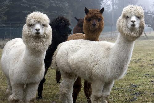 Alpaca-Gruppe