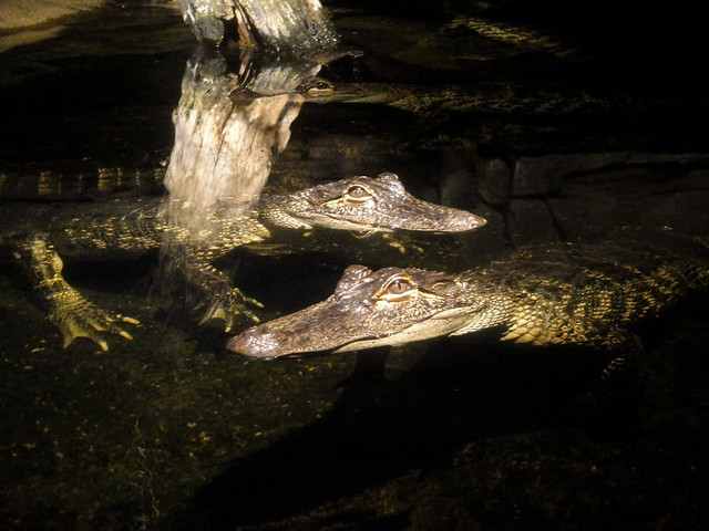 Henry Doorly Zoo - American Alligators