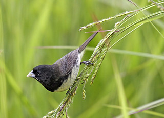 Baiano, Yellow-bellied Seedeater (Sporophila nigricollis)