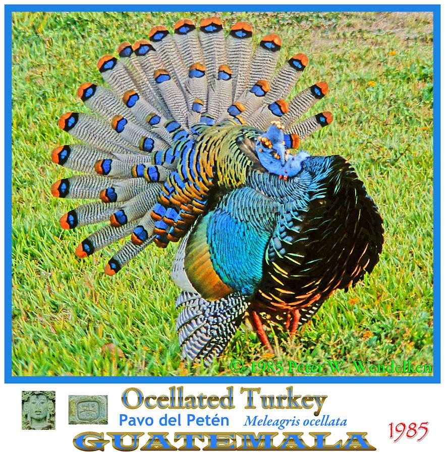 OCELLATED TURKEY MALE COURTSHIP DISPLAY Meleagris ocellata. 1985. El ...: www.flickriver.com/photos/neotropical_birds_mayan_ruins/5489534580
