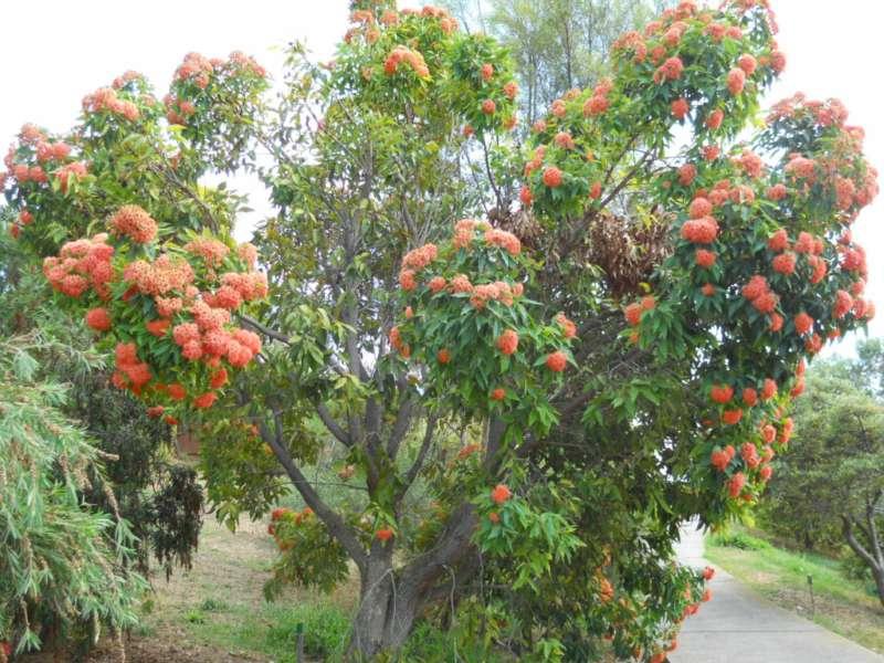 Eucalyptus ficifolia 2