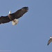 2 of 3 Peregrine Falcon (Falco peregrinus), defending its nest area, gives chase to a Bald Eagle (Haliaeetus leucocephalus)